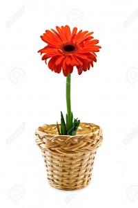 4300397-single-red-flower-on-vine-pot-Stock-Photo